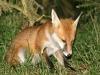 Red Fox Cub 02