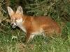 Red Fox Cub 03