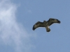 Rough-legged-Buzzard-Buteo-lagopus-001