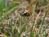 Seven -spot Ladybird - Coccinella 7-punctata 01