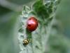 Seven spot & twentytwo spot Ladybirds