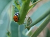 Seven spot Ladybird & Gorse Shieldbug