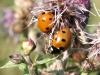 Seven-spot Ladybird - Coccinella 7-punctata 02