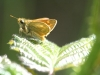 Small Skipper Butterfly - Thymelicus flavus 01