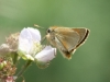 Small Skipper Butterfly -Thymelicus flavus 02