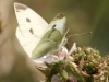 Small White Butterfly - Pierus rapae