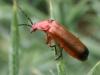 Soldier Beetle - Rhagonycha fulva 01