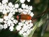 Soldier Beetle - Rhagonycha fulva 02