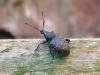 Weevil - Otiorhynchus clavipes 02