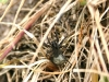 Wolf Spider - Pardosa amentata  with egg cocoon