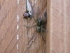Wolf Spider - Pardosa amentata 01