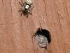 Zebra Spider - Salticus scenicus 01