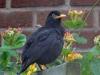 Blackbird-1a