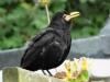 Blackbird-2a