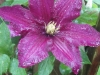 Clematis-after-the-rain