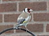 Goldfinch-2