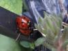 Ladybird-1red