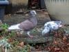Pigeons-r