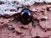 Pine-Ladybird-Exochomus-quadripustulatus-4
