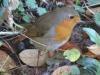 Robin-4