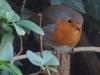 Robin-5