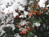Snow-Berries