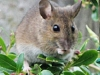 Woodmouse-2