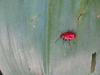 scarlet_lily_beetle_2