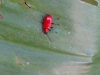 scarlet_lily_beetle_3
