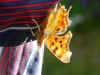 Comma-Butterfly-on-washing-2-March-2014-P-Marples-