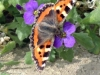 Tortoiseshell-Butterfly-March-2014-P-Marples