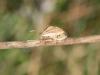 Bishops Mitre - Aelia acuminata 002