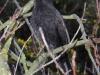Blackbird (M) 001