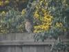 Sparrowhawk (accipiter nisus) 001