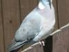 Wood-pigeon (Columba palumbas) 001